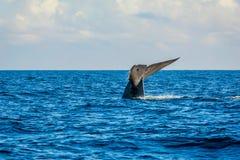 Cauda da baleia azul imagens de stock