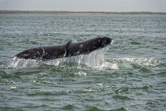 Cauda da baleia cinzenta que vai para baixo no oceano Imagens de Stock