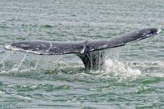 Cauda da baleia cinzenta que vai para baixo no oceano Fotos de Stock