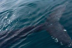 Cauda da baleia de corcunda foto de stock royalty free