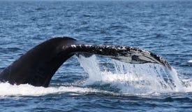 Cauda da baleia de corcunda imagens de stock