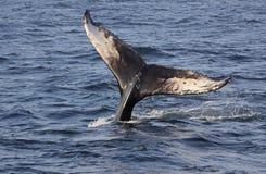 Cauda da baleia de corcunda Imagem de Stock