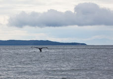Cauda da baleia de corcunda Foto de Stock