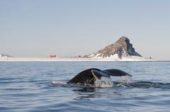 Cauda da baleia de corcunda Imagem de Stock Royalty Free