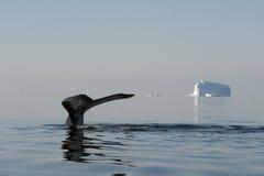 Cauda da baleia de corcunda Fotografia de Stock