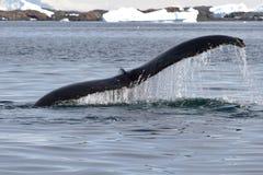 Cauda da baleia de corcunda em um ângulo que mergulha nas águas de t Fotografia de Stock Royalty Free