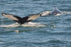 Cauda da baleia de corcunda (solha) fotografia de stock royalty free