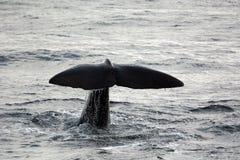 Cauda da baleia de esperma Imagens de Stock