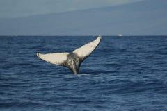 Cauda da baleia de Humpback Fotografia de Stock