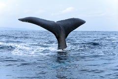 Cauda da baleia de Humpback Imagem de Stock