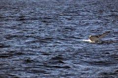 Cauda da baleia de Humpback fotos de stock