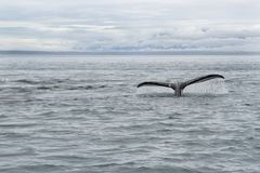 Cauda da baleia em Alaska fotos de stock royalty free