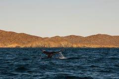 A cauda da baleia na baía Fotos de Stock