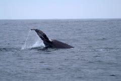 A cauda da baleia no Oceano Pacífico vasto Fotografia de Stock