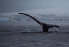 Cauda da corcunda com as geleiras no crepúsculo fotografia de stock