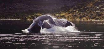 Cauda das baleias Imagens de Stock