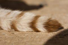 cauda de gato doméstico imagens de stock