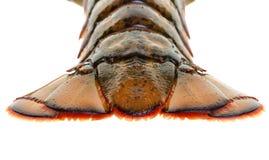 Cauda de lagosta Fotos de Stock Royalty Free