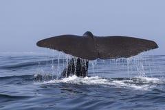 Cauda de uma baleia de esperma que mergulhe na água um o verão a Dinamarca Imagens de Stock Royalty Free