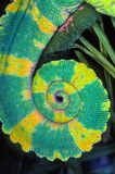 Cauda do camaleão Fotos de Stock