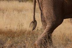 Cauda do elefante Fotos de Stock Royalty Free