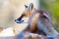 Cauda do Fox imagens de stock royalty free