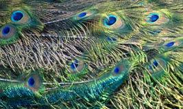Cauda do pavão Fotografia de Stock Royalty Free