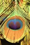 Cauda do pavão foto de stock