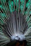 Cauda do pavão Imagens de Stock