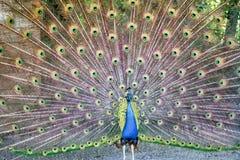 A cauda do pavão Imagem de Stock