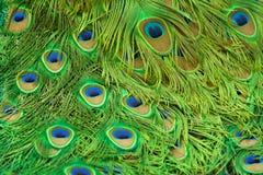 Cauda do pavão Imagem de Stock Royalty Free