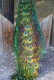Cauda do pavão Foto de Stock Royalty Free