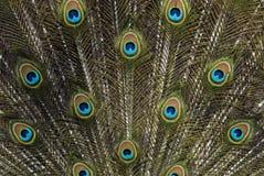 Cauda do pavão Fotos de Stock Royalty Free
