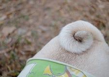 Cauda do Pug Fotos de Stock