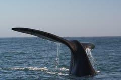 Cauda do sul da baleia direita imagens de stock royalty free