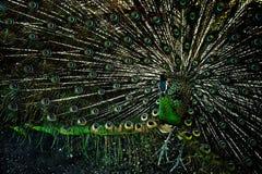 Cauda fluffed pavão, mostras as penas bonitas fotos de stock