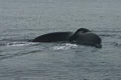 A cauda II da baleia Imagem de Stock Royalty Free