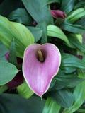 Cauda roxa da flor imagens de stock royalty free