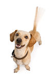 Cauda sacudindo do cão de Chiweenie foto de stock
