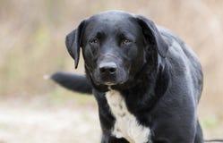 Cauda sacudindo do cão preto da mistura de border collie do laboratório imagem de stock royalty free