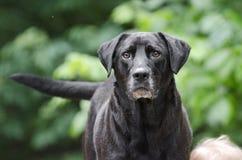 Cauda sacudindo do cão preto superior de labrador retriever Imagens de Stock Royalty Free