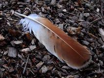 Cauda vermelha Hawk Feather fotos de stock