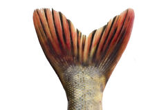 Caudal fin. Pike-fish caudal fin on white royalty free stock photos