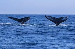 Caudas da baleia Imagens de Stock