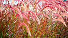 Caudas vermelhas Fotografia de Stock Royalty Free
