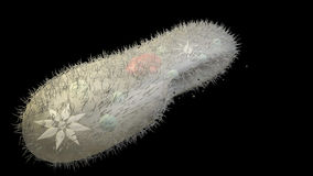 caudatum ciliates drobnoustroju paramecium Obraz Stock
