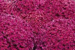 Caudatus Amaranthus Стоковые Изображения RF