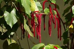 Caudatus dell'amaranto Fotografia Stock