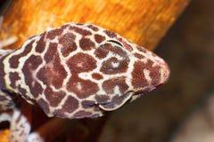 Caudicinctus à queue adipeuse de Hemitheconyx de gecko, échelles principales dorsales, Saswad image stock