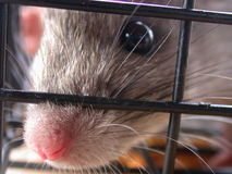 Caught. Rat looking through cage Royalty Free Stock Image